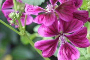 美しく咲いたマロウの花の写真