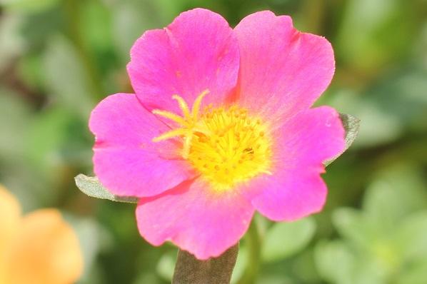 庭の花壇に植えた虹色ポーチュラカ、綺麗なピンクの花のアップ写真