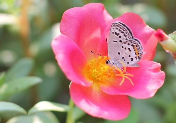 赤いポーチュラカに蝶々が遊びに来ている様子の写真