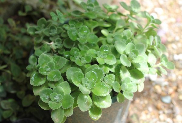 挿し木で大きく成長したアロマティカスの写真