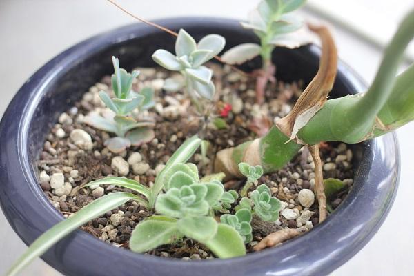観葉植物(モンステラ)の鉢に挿し木したアロマティカスの子株の写真。