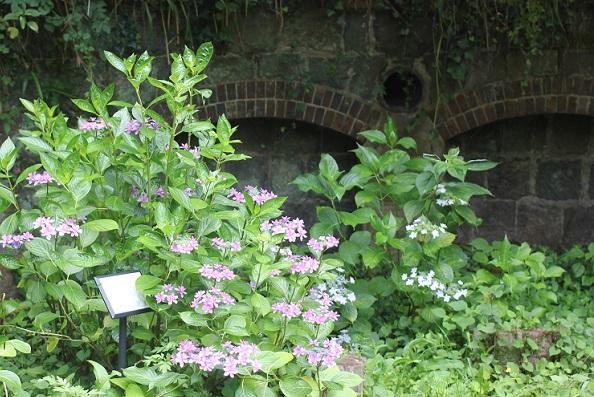 神の島公園の防空壕の前に咲くアジサイの写真