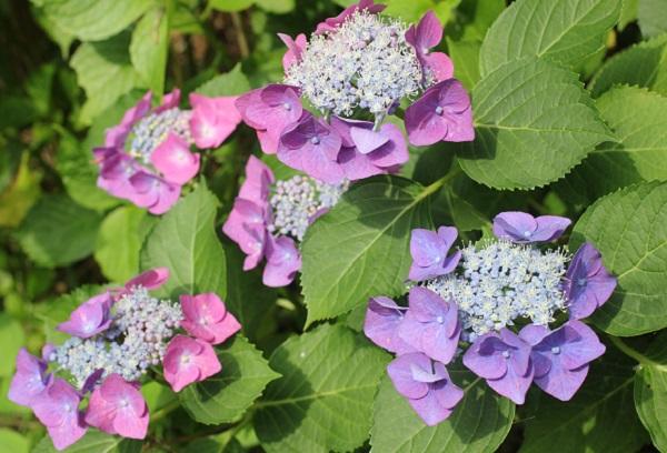 ピンクや紫のガクアジサイの写真