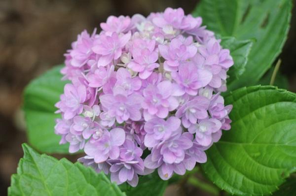 優しい色合いがステキな紫陽花の写真