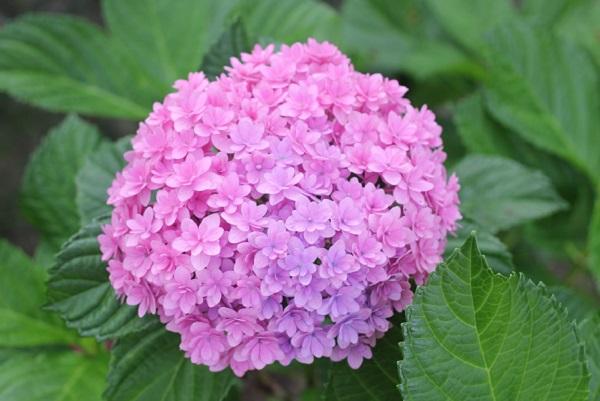 装飾花がたくさんついてる満開なピンクのアジサイの写真