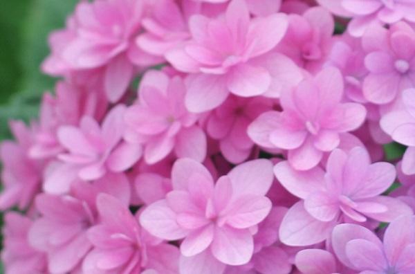 可愛いピンクのアジサイのアップ写真