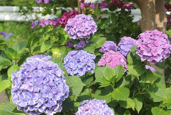珍しいアジサイが咲いてるアジサイ園の写真