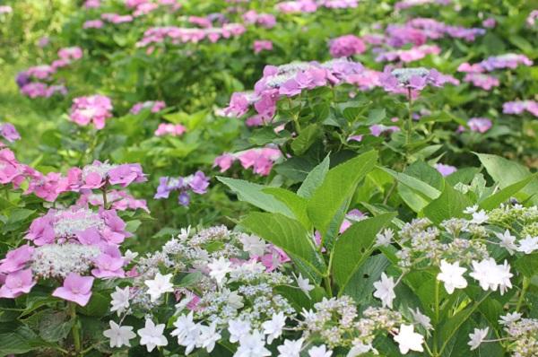 神の島公園のアジサイ園に咲く色鮮やかな紫陽花の写真
