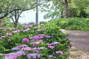 神の島公園に咲くアジサイの花々と小道の写真