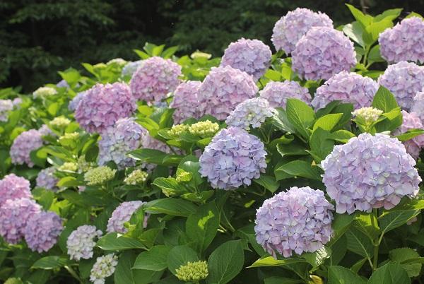 神の島公園のアジサイ園に咲いてる満開の手まり咲きの紫陽花の写真