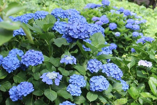 四本堂公園、青い紫陽花の写真