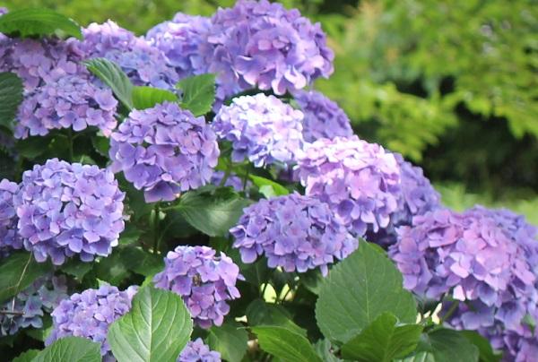 四本堂公園、紫の紫陽花の写真