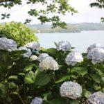 四本堂公園の海を背景に咲くアジサイの写真