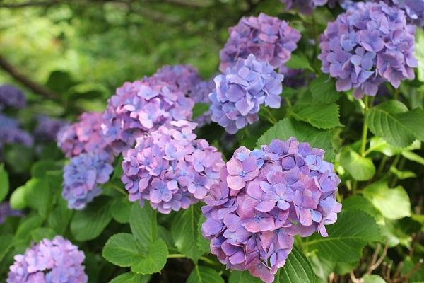 四本堂公園、赤紫の紫陽花の写真
