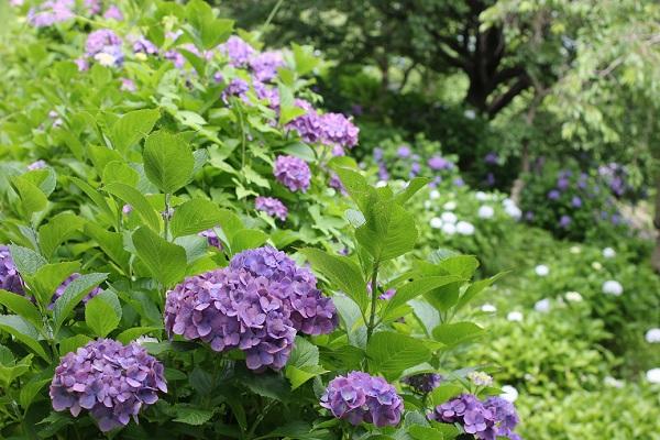 四本堂公園、紫や赤紫の紫陽花の写真