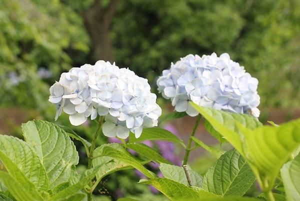 四本堂公園、薄いブルーの紫陽花の写真