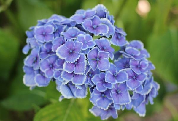 アジサイ、きれいなうす紫の「モナリザ」の写真