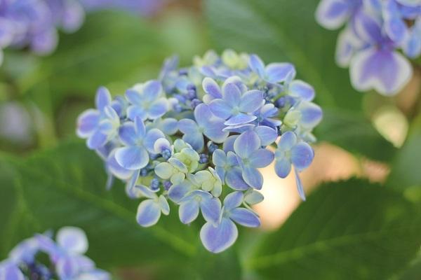 アジサイ、きれいな青緑の「ありがとう」の写真