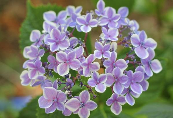アジサイ、きれいな赤紫の「ありがとう」の写真