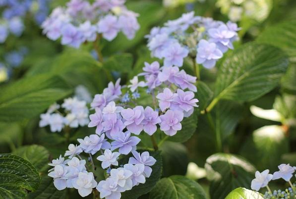 アジサイ、「コサージュ」が咲いてる様子の写真