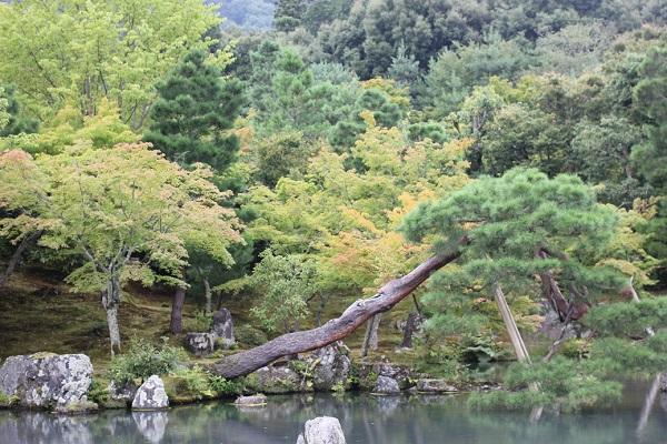 天龍寺の曹源池庭園、池と夏の緑豊かな木々や松の写真