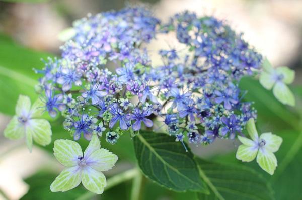 アジサイ、ステキな「大島緑花」の写真