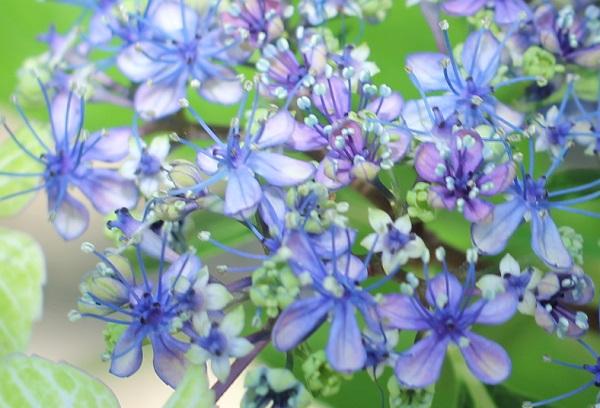 アジサイ、「大島緑花」の両性花、ブルーや紫が綺麗なアップ写真