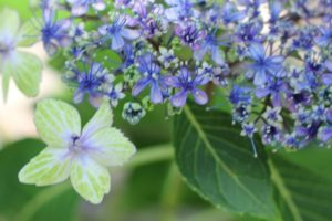 大島緑花、とても美しく咲く紫陽花の写真