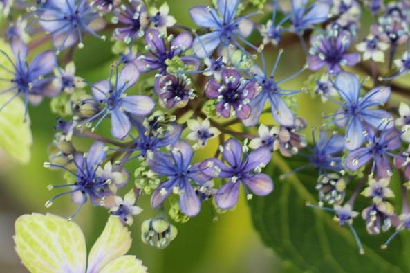 アジサイ、「大島緑花」の両性花が咲いた様子のアップ写真