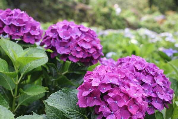 大聖寺、あじさい園に咲く赤紫のきれいな紫陽花の写真