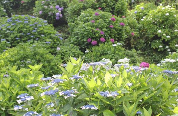 大聖寺、あじさい園に咲き誇る紫陽花の写真