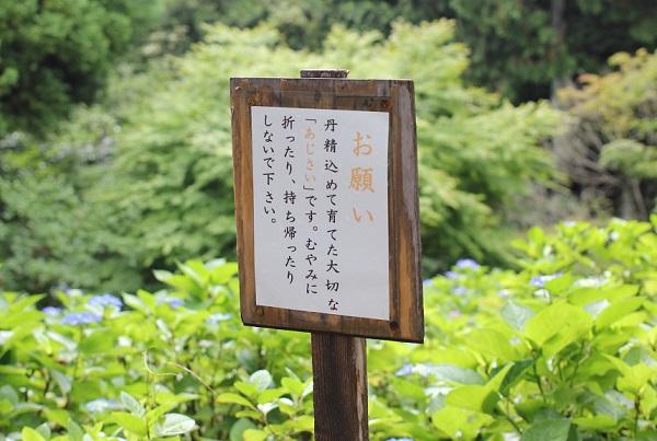 大聖寺、公園内にある立て札の写真「お願い 丹精込めて育てた大切なあじさいです。むやみに折ったり、持ち帰ったりしないで下さい」