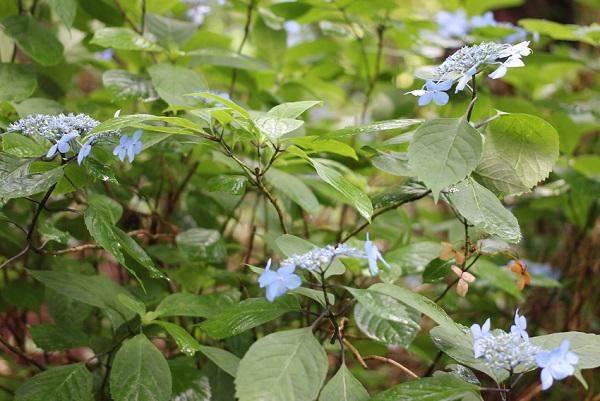 大聖寺、あじさい公園に咲いてるヤマアジサイの写真