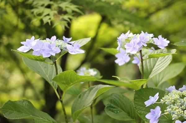 大聖寺、あじさい公園に咲く紫陽花とモミジの写真