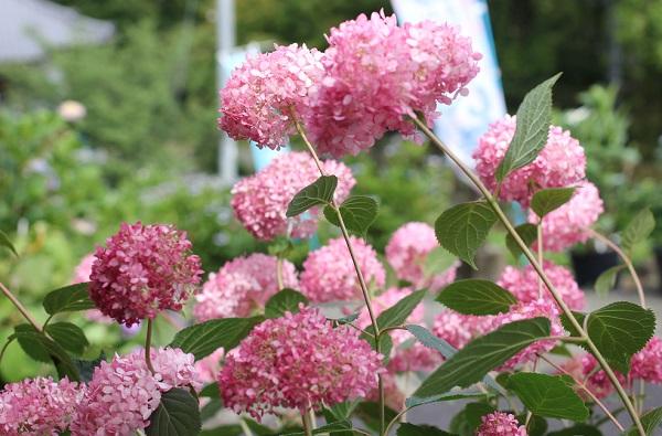 大聖寺の境内近くに咲くきれいなピンクのアナベルの写真