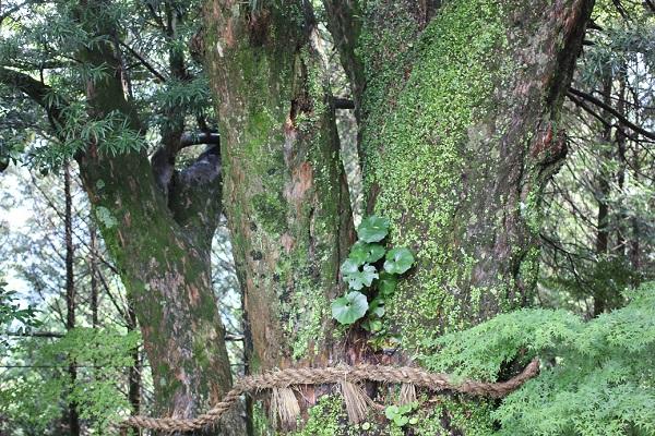 大聖寺、樹齢500年と推定されるイヌマキの写真