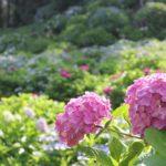 大聖寺の紫陽花園の写真