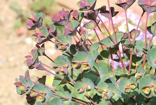 色合いがとても綺麗なユーフォルビア ・ブラックバードの蕾の時期の写真
