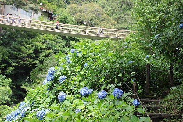 見帰りの滝、紫陽花が咲いてる川沿いの遊歩道と橋の写真