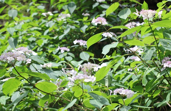 見帰りの滝、ヤマアジサイが咲いてる様子の写真