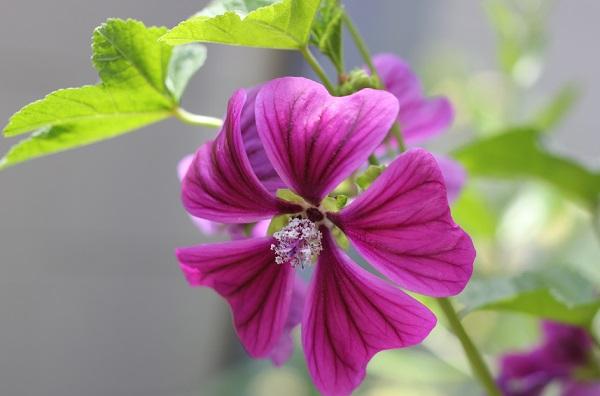 マロウ(ゼニアオイ)の花が美しくさいてる様子の写真