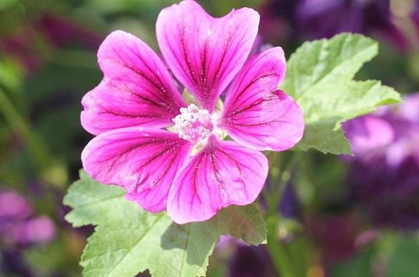庭にさいてるマロウ(ゼニアオイ)の花の写真