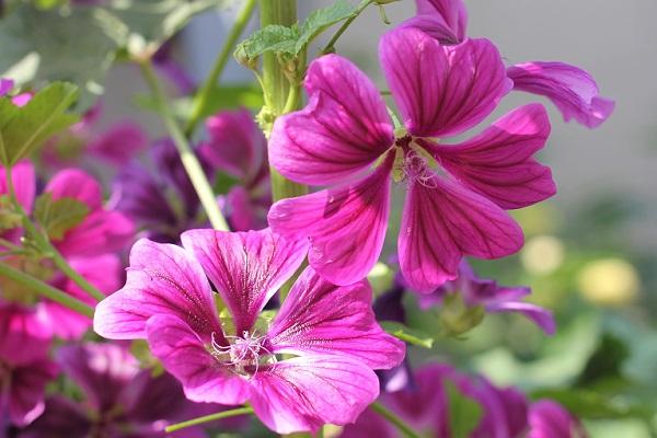 庭に咲いてるマロウ(ゼニアオイ)の花の写真
