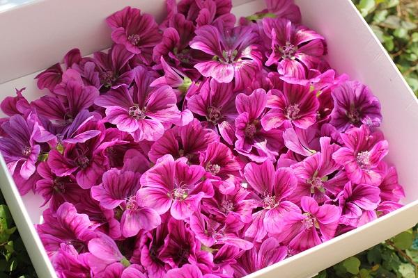 咲いたばかりのマロウ(ゼニアオイ)のたくさんの花、摘んで箱に入れた様子の写真