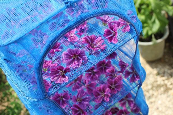 干し網ネットに採りたてのマロウ(ゼニアオイ)の花を乗せた様子の写真