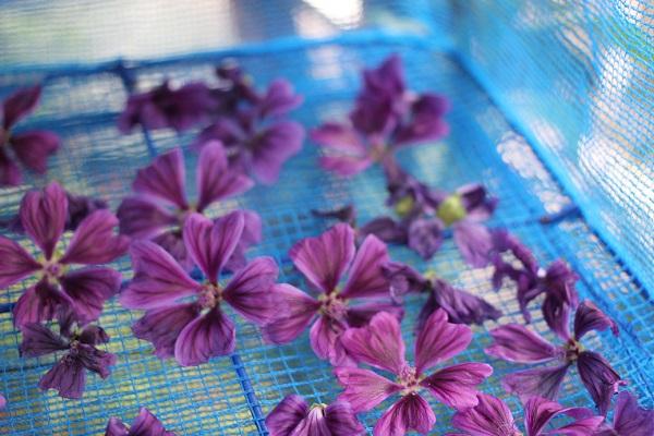 干し網ネットの上で乾燥させてるマロウの花、二日目の様子の写真