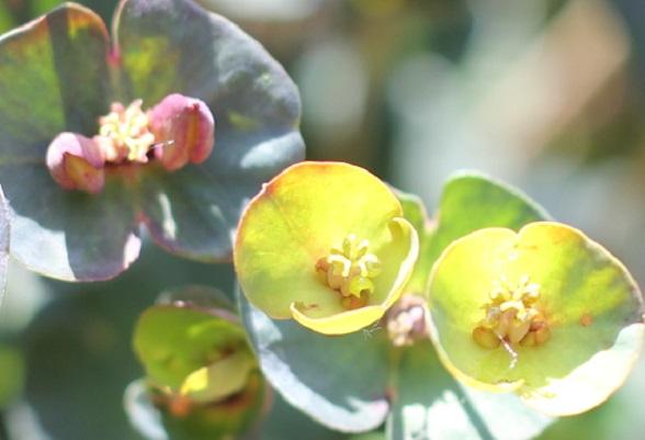ユーフォルビア ・ブラックバードの蕾と満開に開いた黄色の花のアップ写真