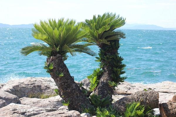 堂崎鼻の岩場のソテツの木の写真(大村湾が背景)