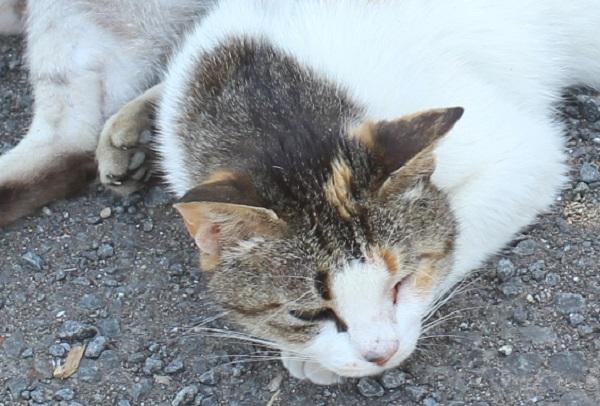堂崎鼻の駐車場、眠っているのか起きているのか、薄目になっているネコのアップ写真
