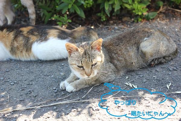 堂崎鼻の駐車場で眠ってる茶色のネコの写真